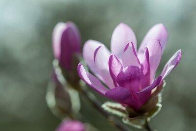 Naklejka Kwitnienie różowe magnolia