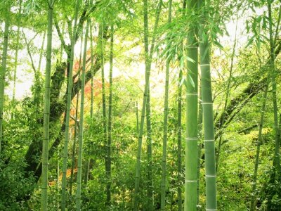 Naklejka Las bambusowy