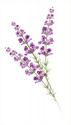 Naklejka Lavender. Rysunek akwarela. Wektor