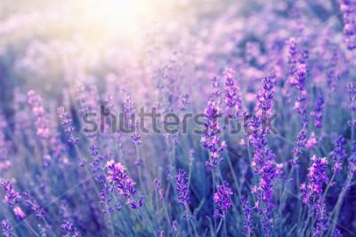 Naklejka Lawendowy krzaka zbliżenie na zmierzchu. Zachód słońca lśnią fioletowe kwiaty lawendy. Krzaki na środku obrazu i światło słoneczne po lewej. Prowansalski region Francji.