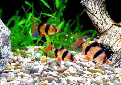 Naklejka Ławica akwarium ryby Barbus. (Barbus pentazona)