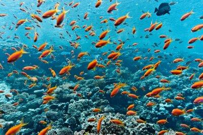Naklejka Ławica anthias ryb na rafie koralowej
