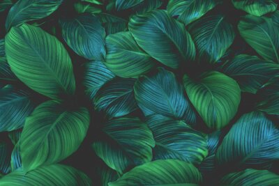 Naklejka leaves of Spathiphyllum cannifolium, abstract green texture, nature background, tropical leaf
