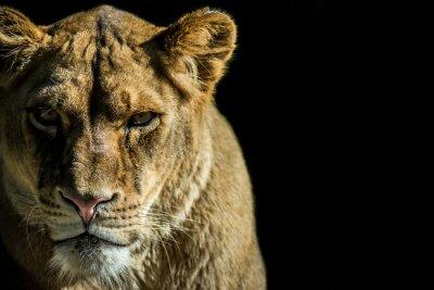 Naklejka leone - lion