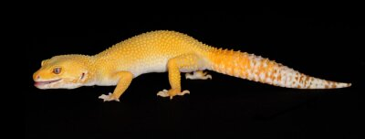 Naklejka Leopard Gecko