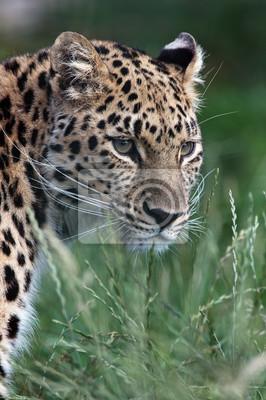 Leopard (Panthera Pardus) / Leopard odwracając się w stronę widza w wysokiej trawie