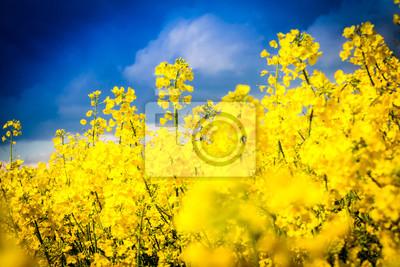 Leuchtend gelbes Rapsblüten mit dramatischem Himmel - pole rzepaku