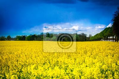 Leuchtend gelbes Rapsfeld mit Baumallee und Bauernhaus - pole rzepaku