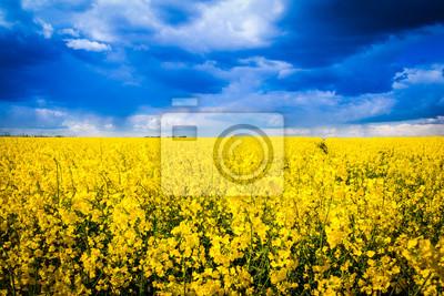 Leuchtend gelbes Rapsfeld mit dramatischem Himmel - pole rzepaku