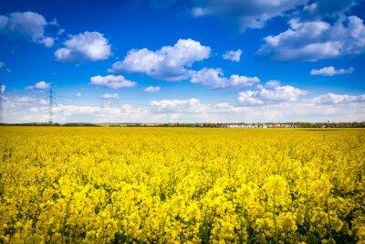 Leuchtend gelbes Rapsfeld mit Häusern im Hintergrund - pole rzepaku