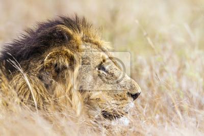 Naklejka Lew w Park Narodowy Krugera