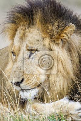 Naklejka Lew w Park Narodowy Krugera, Republika Południowej Afryki