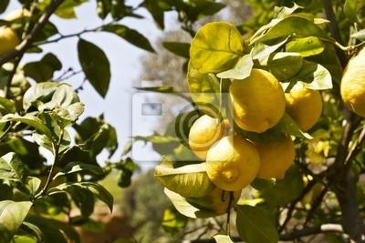 Naklejka Limoni di Sicilia