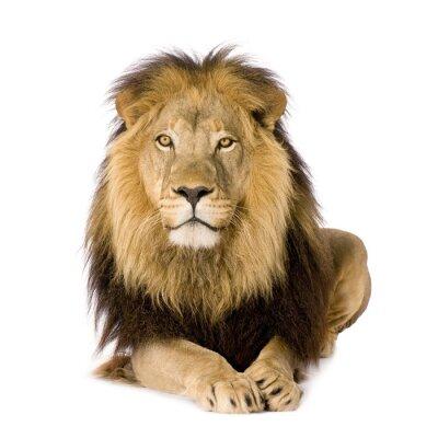 Naklejka Lion (4 ipół roku )