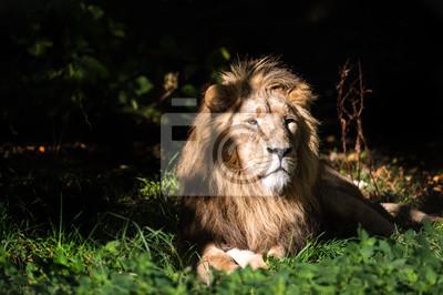 Lion w Sunlit Clearing