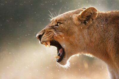 Naklejka Lioness wyświetla niebezpiecznych zębów