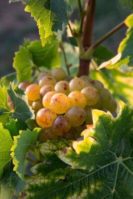 Naklejka Liściach winogron w łóżku