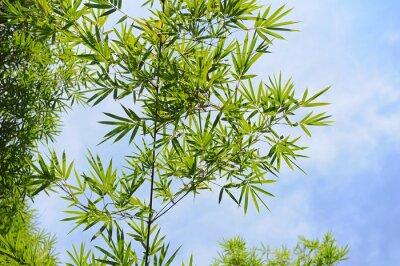 Naklejka Liście bambusa samodzielnie na białym tle