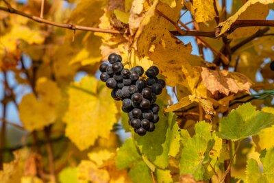 Liście winorośli z winogronami jesienią