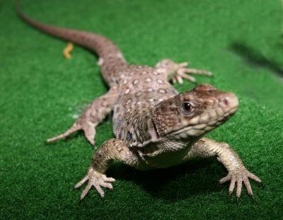 Naklejka Lizard o lekkie przekąski, jeść ani być spożywane