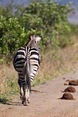 Naklejka Lone zebra walking away along a dirt road in nature
