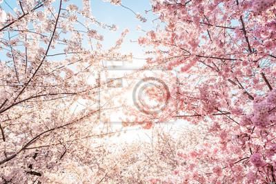 Naklejka Low angle view of vibrant pink cherry blossom sakura tree sunburst through branch in spring in Washington DC during festival