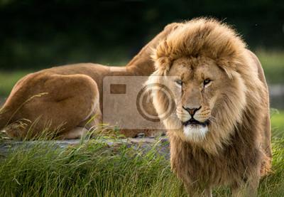 Naklejka lwy