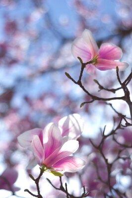 Naklejka Magnolia drzewa, kwiaty tulipan-jak z prześwituje w słońcu