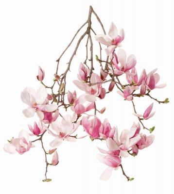 Naklejka Magnolia, flower branch isolated on white