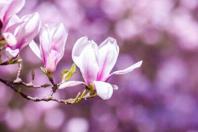 Naklejka Magnolia kwiaty tła