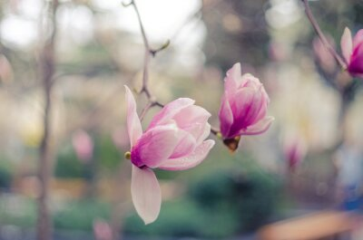 Naklejka Magnolia kwiaty w Jałcie. Różowe kwiaty magnolii