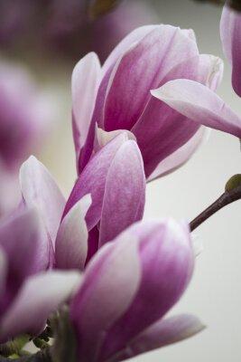 Naklejka magnolia kwitnąca na drzewie