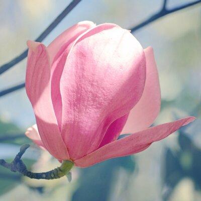 Naklejka Magnolia lub tulipan drzewa w ogrodzie botanicznym.