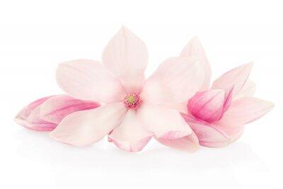 Naklejka Magnolia, różowe kwiaty i pąki grupa na białym, strzyżenie ścieżka
