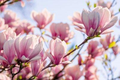 Naklejka magnolia tree blossom in springtime. tender pink flowers bathing in sunlight. warm april weather