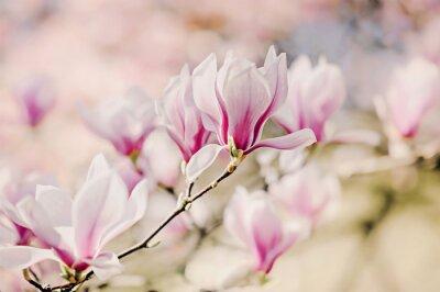 Naklejka Magnolienblüten
