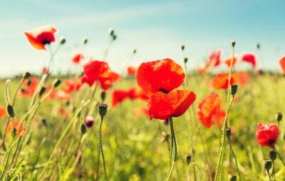 Naklejka mak pole kwitnących latem