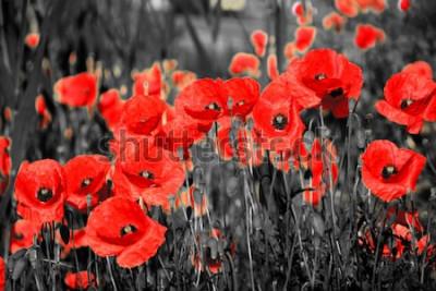 Naklejka Mak z maku lub maku z rhoeas ze światłem w głębi Włoch przypominający 1918, wiersz Flanders Fields Johna McCrae i 1944, Czerwone maki na piosence Monte Cassino Feliksa Konarskiego