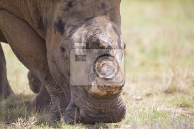 Makro białej rhino głowy z twardej pomarszczony skóry
