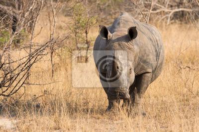 Makro z białego nosorożca w buszu z pomarszczonej skóry twardej