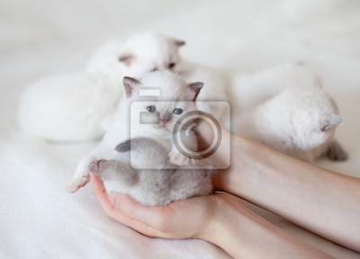 Mały biały kot w rękach kobiet