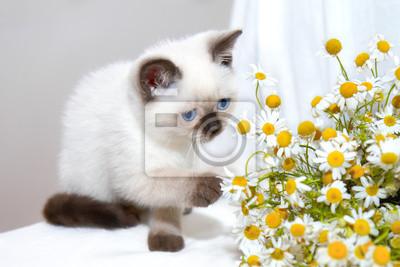 Mały kot bawi się z rumianku