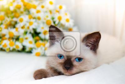 Mały kot leżącego w pobliżu rumianku