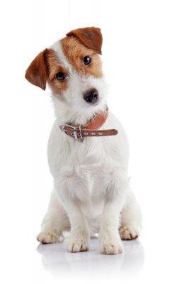 Naklejka Mały piesek rasy Jack Russell Terrier