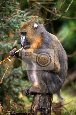 Naklejka Mandrill Eating