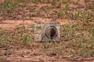 Naklejka Matka i dziecko mongoos