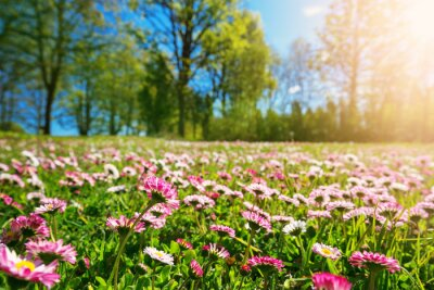 Naklejka Meadow with lots of white and pink spring daisy flowers in sunny day