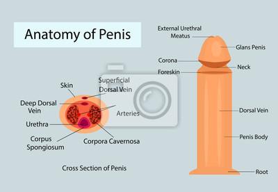 schemat wejściowy penisa montaż badania lekarskiego
