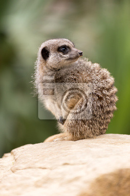 Naklejka Meerkat