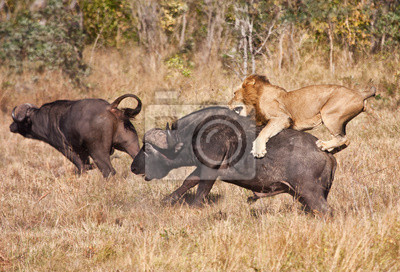 Naklejka Mężczyzna atak lwa ogromny byk buffalo